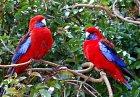 Australian birds Crimson Rosella
