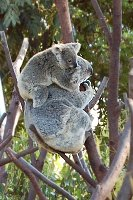 Koalas at Currumbin Wildlife Sanctuary, Goldcoast